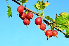 Red gooseberry on a branch. The common gooseberry lat. Ríbes úva-críspa is a plant species of the Gooseberry family Grossulariaceae stock images