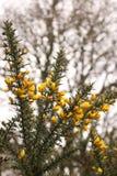 Common Gorse. Or Furze bush Stock Image