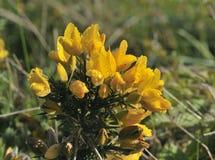 Common Gorse - Ulex europaeus. Morning dew on Common Gorse - Ulex europaeus Stock Photo