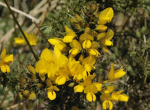 Common Gorse Stock Photos