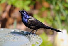 Common Grackle. On the side of a bird bath Stock Photos