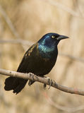 Common Grackle Royalty Free Stock Image