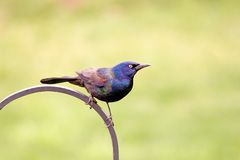 Common Grackle_4642-1S. Common Grackle Bird Perched on Wrought Iron Post Royalty Free Stock Images