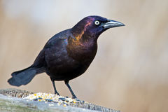 Free Common Grackle Royalty Free Stock Image - 51870786