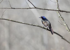 Common Grackle Royalty Free Stock Images