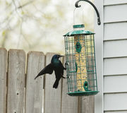 Common Grackle at bird feeder Royalty Free Stock Photography