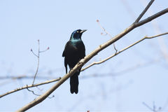 Common grackle bird Royalty Free Stock Photos
