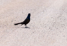 Common grackle bird Stock Images