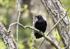 Free Common Grackle Blackbird Perched On A Tree Limb, Georgia Stock Photos - 144738603