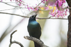 Common Grackle. Close up photo of a Common Grackle bird perched on a tree branch Royalty Free Stock Image