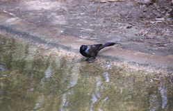 Common Grackle. Quiscalus quiscula by a water shore Stock Images