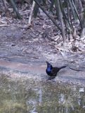 Common Grackle. Quiscalus quiscula by a water shore Royalty Free Stock Image