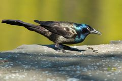 Common Grackle. Standing on a stone ledge eating rice that has been left out as birdfeed.. High Park, Toronto, Ontario, Canada Royalty Free Stock Photography