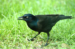 Common Grackle Eating a Seed. A common grackle with a seed in its`beak Royalty Free Stock Image