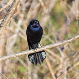 Common Grackle evil eye. Iridescent Common Grackle offers fierce stare royalty free stock image