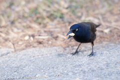 Common Grackle. Facing the sunlight to eat food Stock Photo