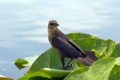 Common Grackle (Female) Stock Image