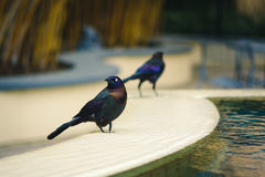 Common Grackle in Florida Stock Photography