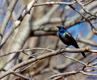 Common Grackle. Royalty Free Stock Image