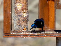 Common Grackle. Royalty Free Stock Photos
