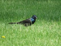 Common Grackle. Looking for food Royalty Free Stock Photos
