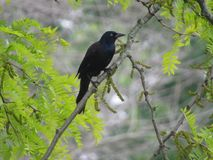 Common Grackle Royalty Free Stock Photography