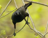 Common Grackle looking at camera Stock Images