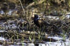 Common Grackle in marsh Stock Photos