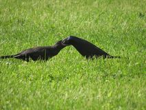 Common Grackle. Mother grackle feeding her baby Royalty Free Stock Photo