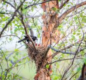Common Grackle on the nest royalty free stock image