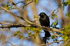 Common Grackle Perched on a Branch Stock Image