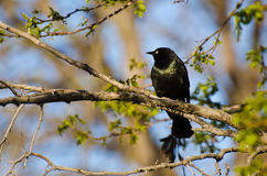 Common Grackle Perched on a Branch Royalty Free Stock Photos