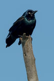 Common Grackle Stock Photos