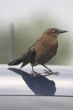 Common Grackle. Perched  resting atop  a car hood Stock Photography