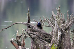 Common Grackle. Perched on a stump Royalty Free Stock Photos