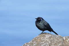 Common Grackle. Royalty Free Stock Images