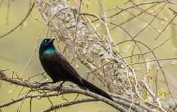 Common Grackle portrait Stock Photo
