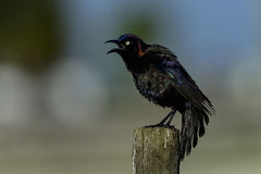 Common grackle Stock Images