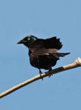 Common grackle, quiscalus quiscula Royalty Free Stock Image