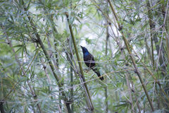Common Grackle. Quiscalus quiscula hiding in a bush Royalty Free Stock Photo