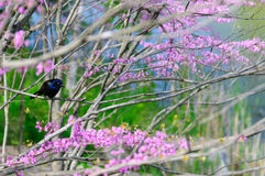 Common Grackle (Quiscalus quiscula) - Ontario, Canada Stock Photos