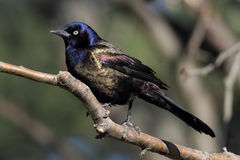 Common Grackle Royalty Free Stock Photo