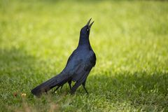 Common Grackle (Quiscalus quiscula) Royalty Free Stock Photography