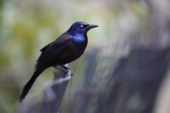 Common Grackle (Quiscalus quiscula stonei) Royalty Free Stock Photos