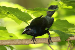 Common Grackle Searching for its Prey Stock Images