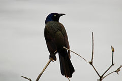 Common Grackle sitting on a branch with a gray background Stock Photography