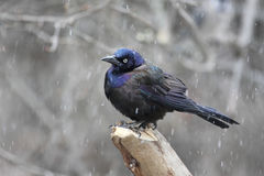 Common Grackle In Snow. Common Grackle (quiscalus quiscula) on a stump in a snow storm Royalty Free Stock Image