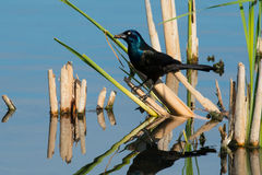 Common Grackle Royalty Free Stock Photos