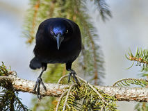 Common Grackle Stock Photography