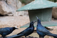 Common Grackles Royalty Free Stock Photo